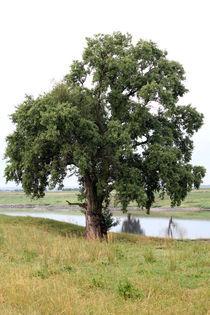 Baum an der Elbe 2 von Falko Follert