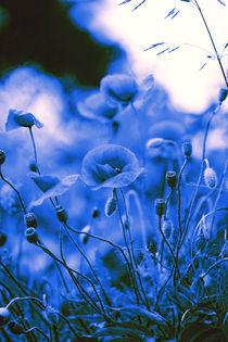 Mohn Kunst Poster in Blau von Falko Follert