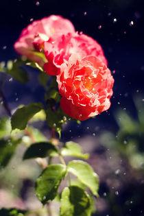 Rote Rosen im Regen by Falko Follert
