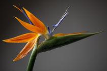 Die Paradiesvogelblume von Falko Follert