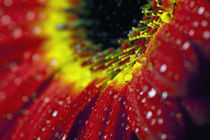 WASSERTROPFEN BLUME by Falko Follert