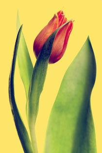 Tulpe by Falko Follert
