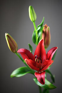 Lilien  by Falko Follert