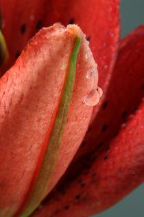 Lilie mit Wassertropfen 3 by Falko Follert