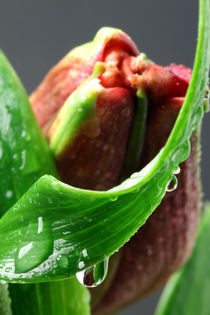 Lilie mit Wassertropfen 5 von Falko Follert