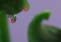 Lilien mit Wassertropfen 6 von Falko Follert