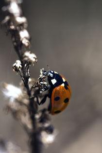 Ladybird 2 von Falko Follert