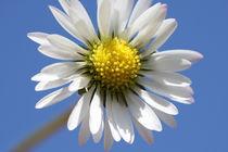 Gänseblume im blauen Himmel von Falko Follert