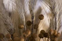 Getreide Kunst Poster von Falko Follert