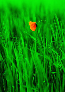 Mohnblume im Getreidefeld Leinwanddruck von Falko Follert
