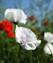 Weiße Mohnblumen im Rapsfeld by Falko Follert
