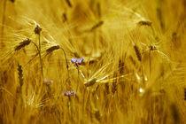 Kornblume im Getreidefeld von Falko Follert