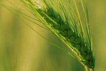 Getreide von Falko Follert