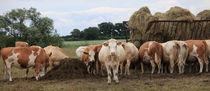 Kühe aus Sachsen von Falko Follert