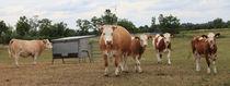 Kühe auf der Weide 2 by Falko Follert