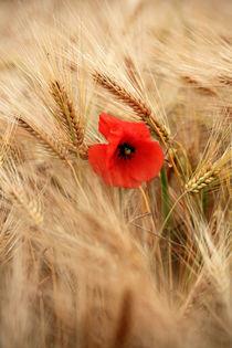Die Mohnblume im Getreidefeld von Falko Follert