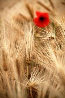 Getreide Natur Mohn Leben Liebe Fotografie von Falko Follert