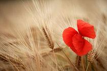 Mohnblume im Getreide von Falko Follert