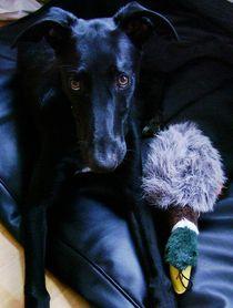Young greyhound and his duck von lana dante