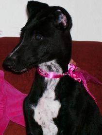 Dark young Greyhound von lana dante