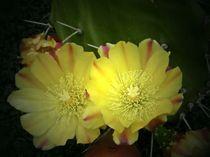 Kaktusblüte von biene