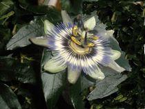 Passionsblüte von biene