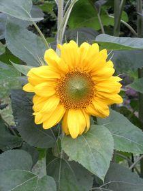 Sonnenblume by biene