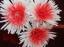 Chrysantheme von biene