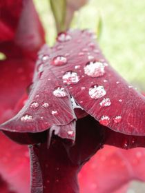 Gladiole von Anke Tarabay