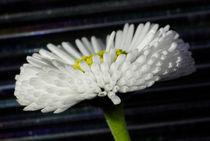 Gänseblümchen - Blütenorgel by Gerald Albach
