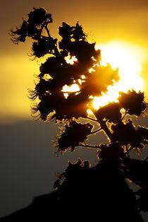 Rosskastanie - Blütenkerzen-Beleuchtung von Gerald Albach