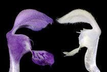 Blütenkrach - Gefleckte und Weiße Taubnessel  by Gerald Albach