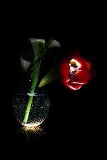 Tulpe - Nach dem Tulpengeflüster! - Tulip - Tulipa by Gerald Albach