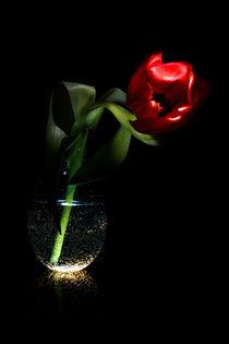 Rote Tulpe - Tulip - Tulipa by Gerald Albach