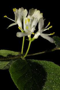 Heckenkirsche - Blüten - Lonicera xylosteum by Gerald Albach