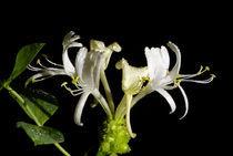 Waldgeißblatt - Blüten by Gerald Albach