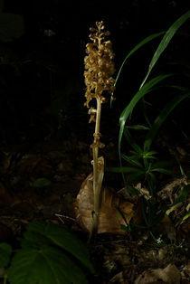 Nistplatz der Orchidee Vogel-Nestwurz by Gerald Albach
