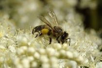 Honigbiene - Flugbiene als Farbkontrastsammlerin by Gerald Albach