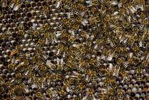 Ammenbienen erzählen Ammenmärchen - Honigbiene by Gerald Albach
