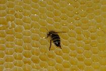 Schluckspecht oder Naschkatze? - Honigbiene by Gerald Albach