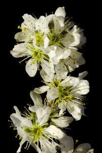 Blütentanz - Langsamer Schlehen-Schneewalzer by Gerald Albach
