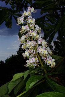 Rosskastanien-Blüten - Arzneipflanze des Jahres von Gerald Albach