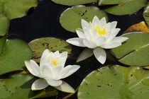 Weißer Seerosen-Riese - Seerose Gladstonia von Gerald Albach