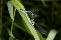 Azurjungfern - Kleinlibellen-Paarungsrad by Gerald Albach