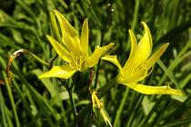 Total alltäglich - gelbe Taglilien im Tageslicht von Gerald Albach