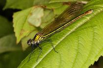 Prachtlibelle - Ungebändertes Weibchen von Gerald Albach