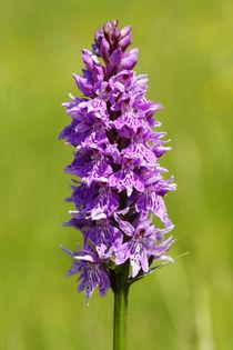 Orchidee des Jahres - Breitblättriges Knabenkraut  von Gerald Albach