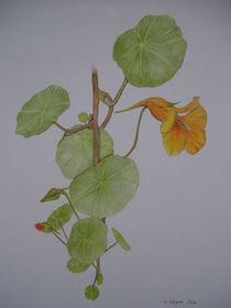 Kapuzinerkresse by Angelika Wegner
