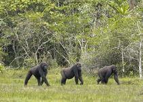Drei Gorillas by Ralf Kayser