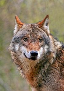 Wolf von lichtmalerin